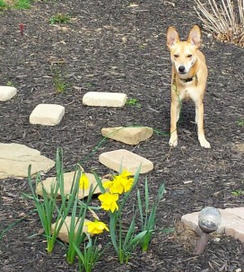 Sadie and daffs (2)